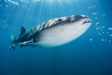 Вільне занурення і спостереження за китовими акулами в Папуа, Індонезія