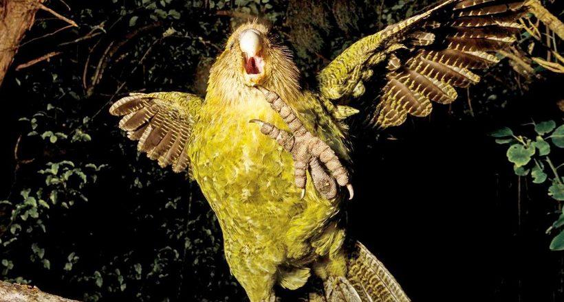 Як вийшло, що папуга какапо розучився літати