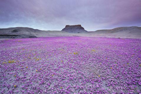 Рідкісне цвітіння посеред млявої пустелі