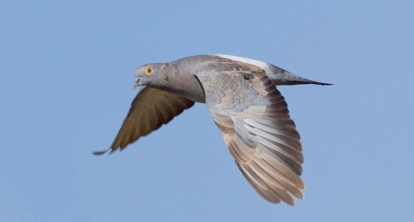 Бійці невидимого фронту: як голубів використовували в якості зв'язківців і фотошпигунів