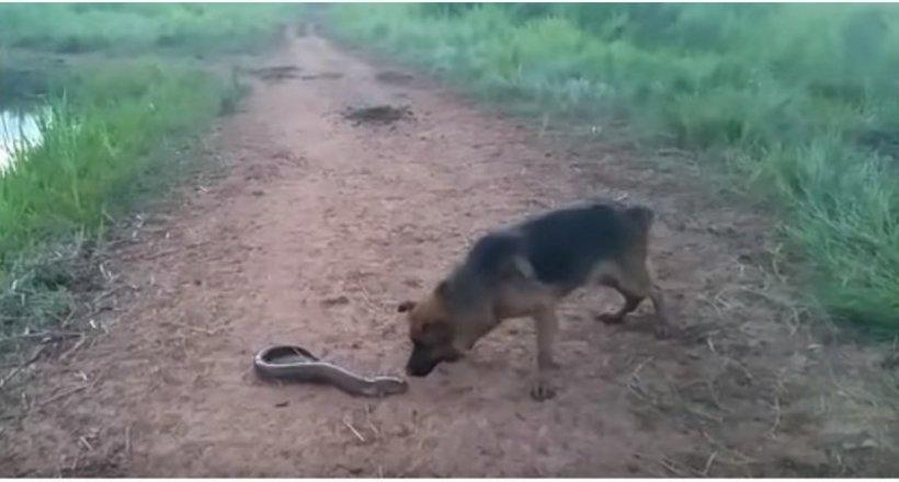 Відео: Що станеться, якщо собака вирішить схопити живого електричного вугра