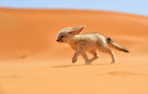 7 найкрасивіших у світі видів лисиць