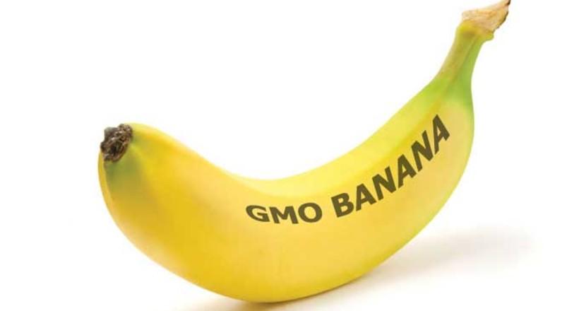 ГМО-банани вже вирощують в Африці: для чого генетики їх створили