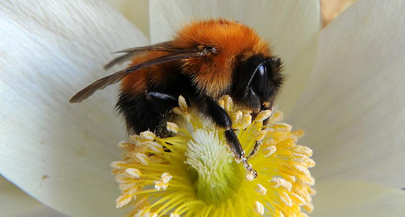 Чому ніхто не розводить джмелів, адже вони теж роблять мед і працелюбнішими бджіл