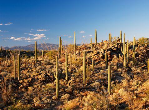 Національний парк Сагуаро - справжня імперія кактусів