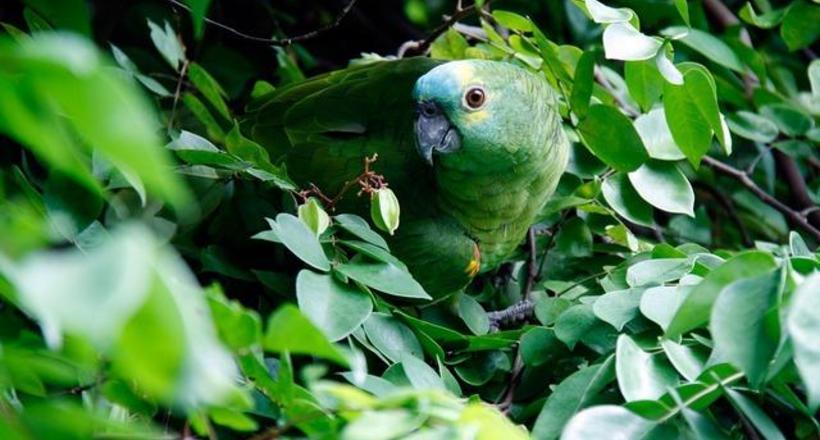 У Барнаулі папуга втік з дому і вступив у банду голубів
