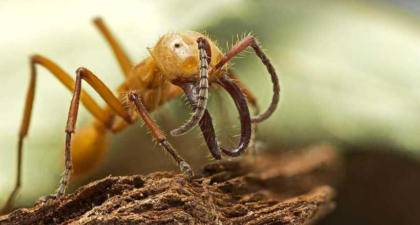 Подорож довжиною в життя: як живуть незвичайні мурахи-кочовики
