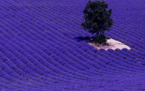 20 приголомшливих знімків лавандових полів у Франції і дивовижні факти про них