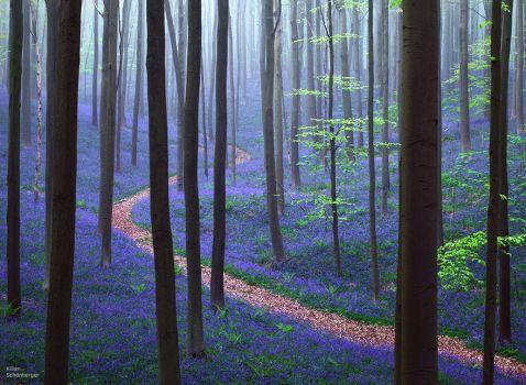 14 фото казкового лісу чорничного кольору, який існує насправді