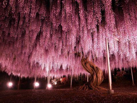 11 неймовірних знімків найбільшої і прекрасної гліцинії, що росте в Японії