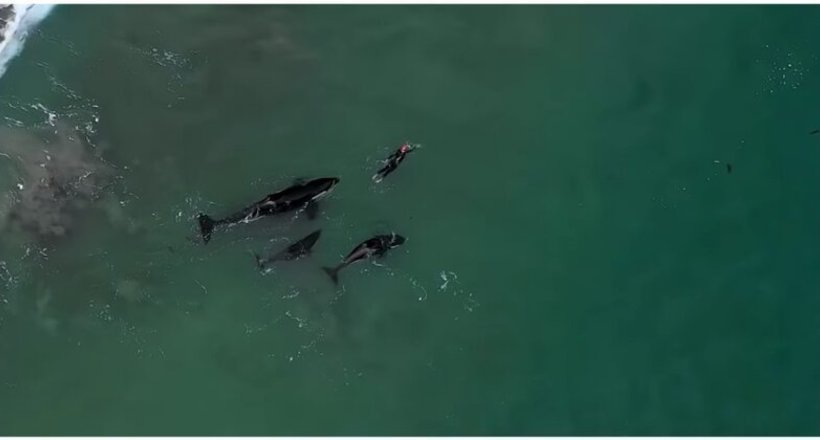 Відео: Цікаві косатки плавали поруч з жінкою в Новій Зеландії