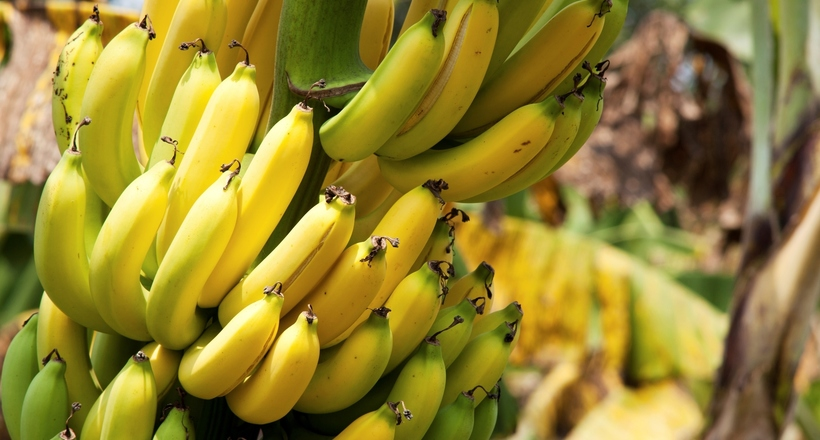 Генетики знову втрутилися в природу: африканським бананам відредагували гени