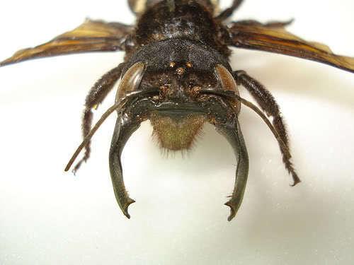 Навіщо найбільшим бджолам у світі такі дивні щелепи