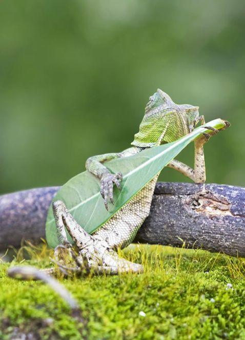 В Індонезії сфотографували ящірку, що грає на імпровізованій гітарі