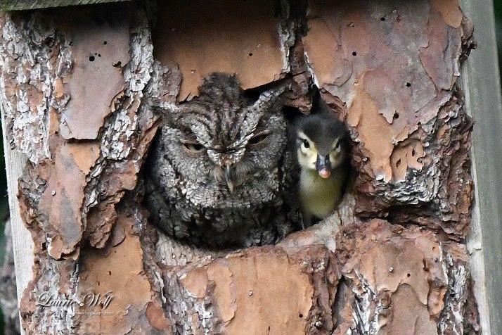 Як сова стала прийомною мамою маленького каченяти