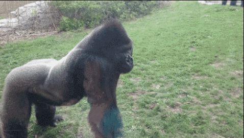 Відео: Горила майже розколола скло в зоопарку, коли побачила, що робить ця дівчинка...