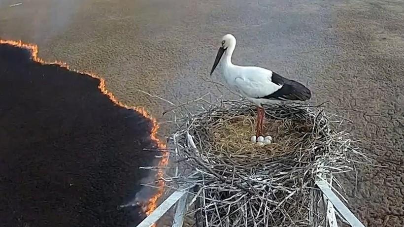 Відео: Пожежа підходить все ближче, але лелека стоїть у гнізді, не в силах кинути пташенят