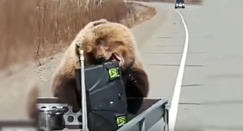 Відео: Нахабний ведмідь вкрав у мисливців ящик з усією їжею прямо з-під носа