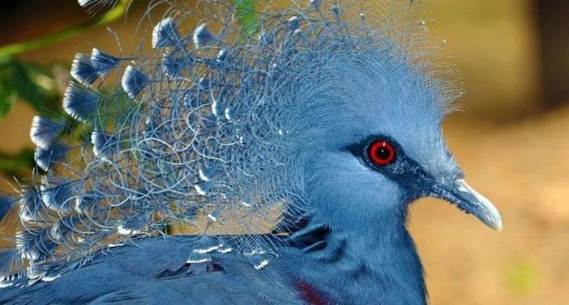 Вінценосні голуби: де живуть найкрасивіші їх представники