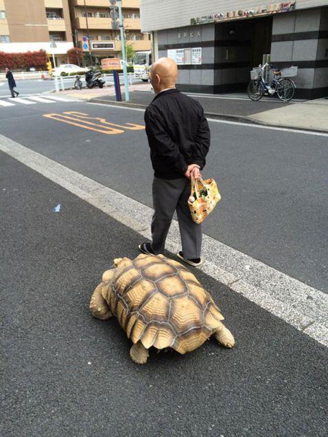 Цій людині вистачає терпіння вигулювати незвичайного домашнього вихованця по вулицях Токіо!