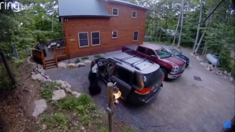 Відео: Ведмедиця спритно відкрила двері авто зграї своїх малюків