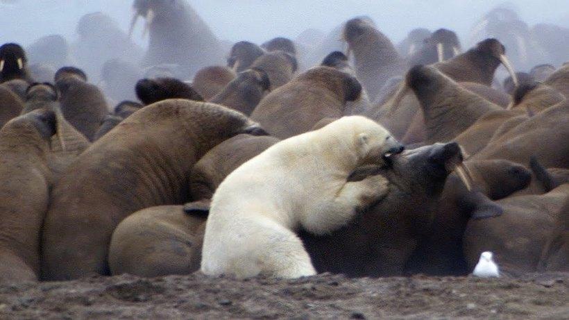 Відео: Білий ведмідь проти цілої колонії моржів