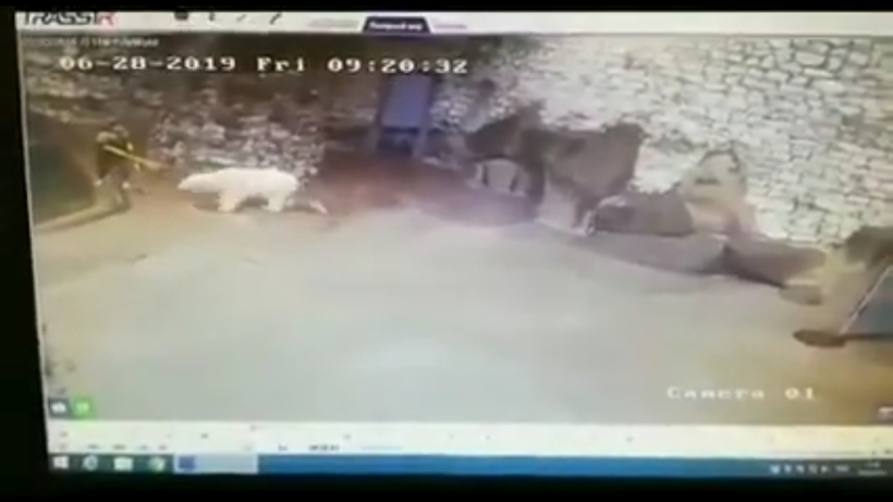 Відео: Прибиральниця в зоопарку намагається віником відбитися від білого ведмедя