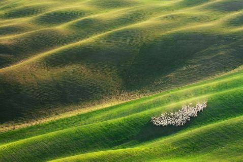 Вівці на тосканських полях Італії