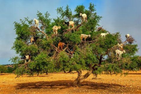 Марокканські кози, які лазять по деревах