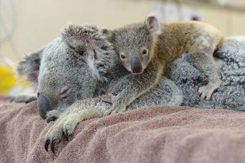 Дитинча коали не переставало обіймати свою маму, яка перебувала без свідомості...