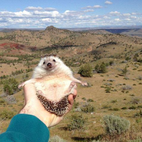 Бідді — знаменитий їжак-мандрівник