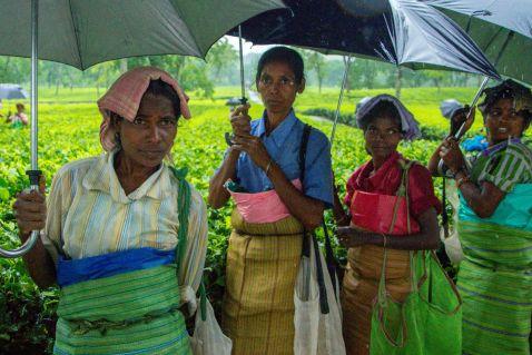 Як виробляють гранульований чай в Індії