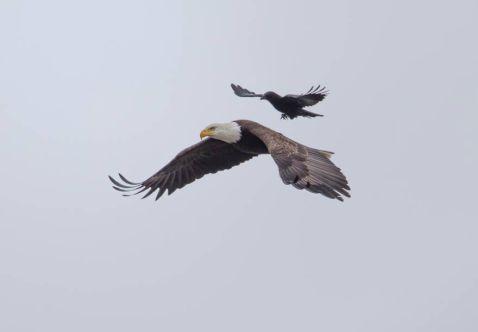Вороні вдалося політати на спині орла. Унікальні кадри!
