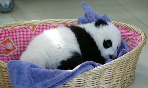 Дитячий садок для панд в Китаї — найчудовіше місце на Землі!