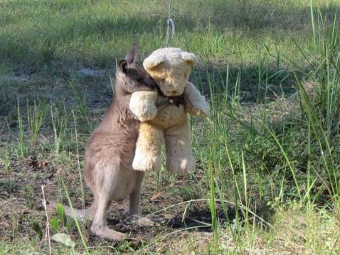 Дитинча-сирота кенгуру просто хоче обійняти свого плюшевого ведмедика