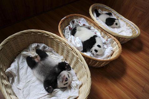 Ці дивовижні малюки, мирно сплять в кошиках, що підкорили світ! Хто б сумнівався?!