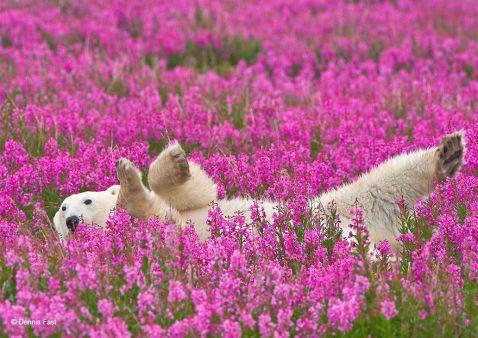 Ці полярні ведмедики, що граються на квітковому полі, стали зірками інтернету