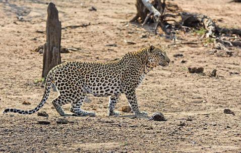 Цей кабан забув, що спати на території леопардів смертельно небезпечно!