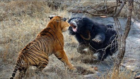 Як виглядають жорстокі бої в дикій природі