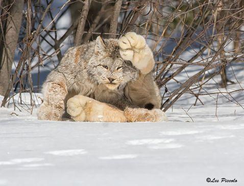 12 рідкісних видів диких котів зі всього світу, про існування яких ти не здогадувався