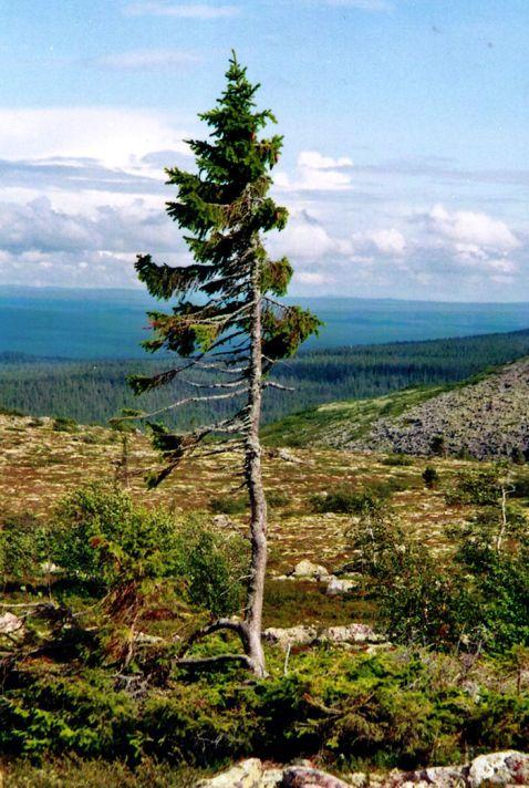 У Швеції росте найстаріше дерево на планеті!