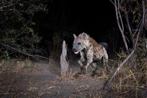 Фотограф-натураліст показав сенсаційні знімки тварин, зроблені камерою-пасткою