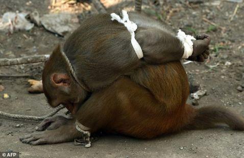 Як в Індії карають мавп-злочинниць