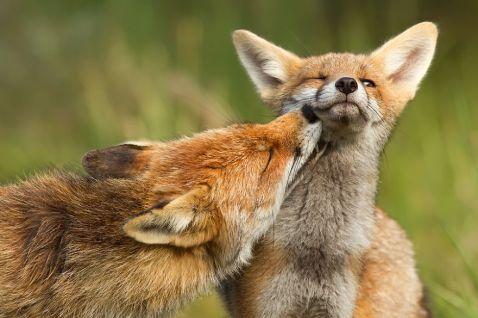 11 знімків закоханих лисиць, які розчулять навіть самого запеклого циніка