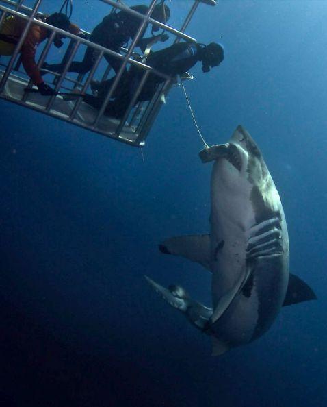 Як помацати акулу