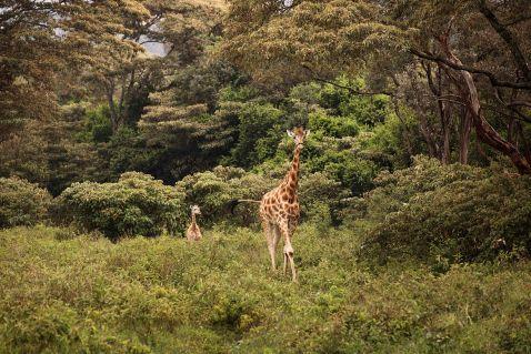 Сніданок з жирафами Ротшильда, занесеними в Червону книгу