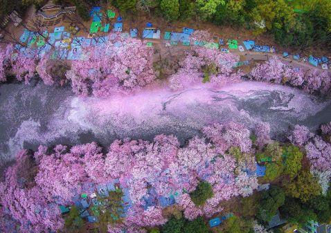 17 чарівних фотографій цвітіння сакури в Японії від National Geographic