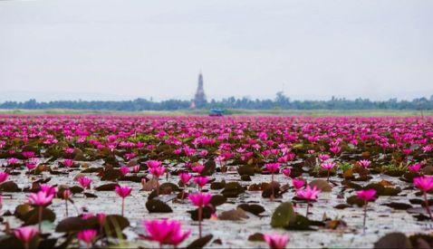 Унікальне озеро в Таїланді, всипана червоними лотосами