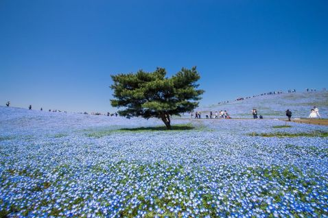 4,5 мільйона кольорів немофіли розквітли в Японії. І це приголомшливо!