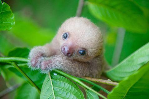 Дивовижний Інститут лінивців в Коста-Ріці. Буває ж таке!